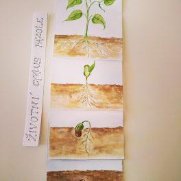 Životní cyklus fazole