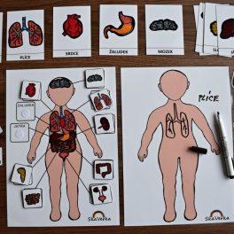 lidské, tělo, orgány, člověk, orgán, těla, obrázek, obrázky, postava, hlava, ramena, kolena, palce, nohy, ruce, paže, trup, horní, dolní, končetiny